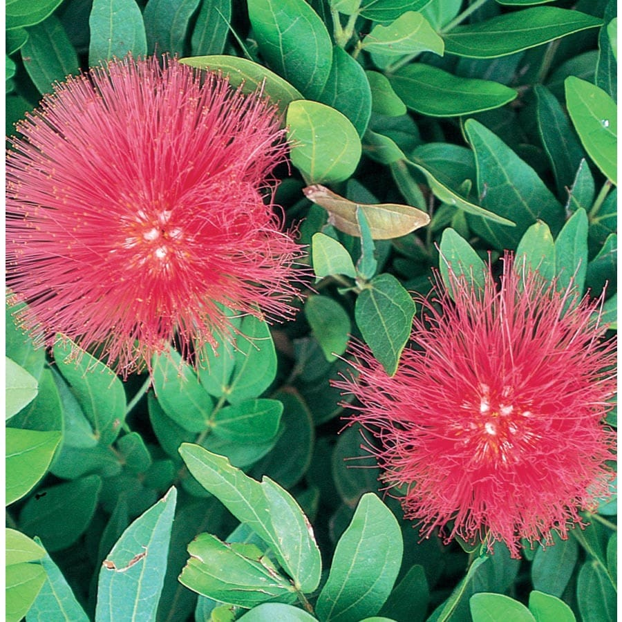 3.58-Gallon Red Baja Fairy Duster Accent Shrub (L11108)