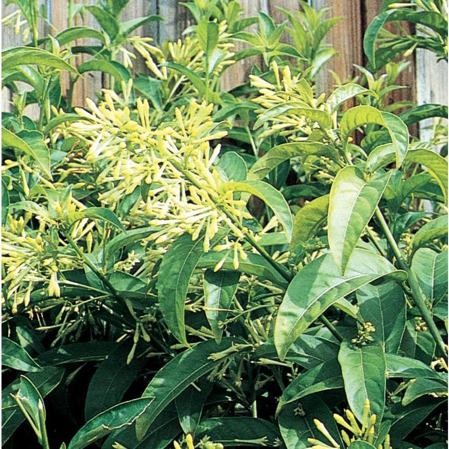 3.58-Gallon Night Blooming Jasmine (L7495)