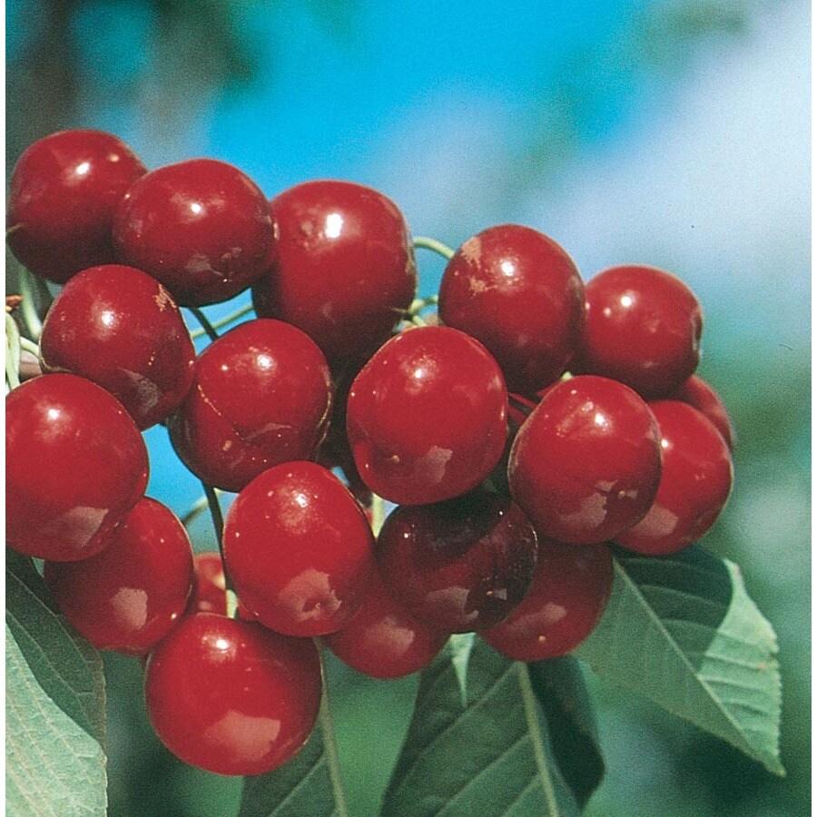 3.58-Gallon Bing Ultra-Dwarf Cherry Tree (L22672)
