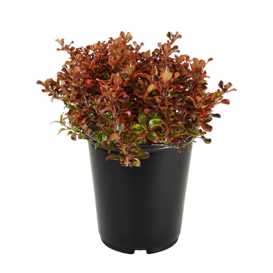 3.58-Gallon Mirror Plant Accent Shrub (L24556)