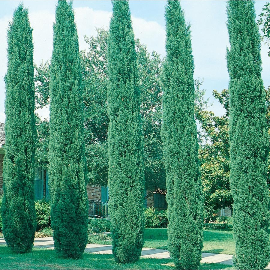 3.58-Gallon Italian Cypress Feature Tree (L3291)