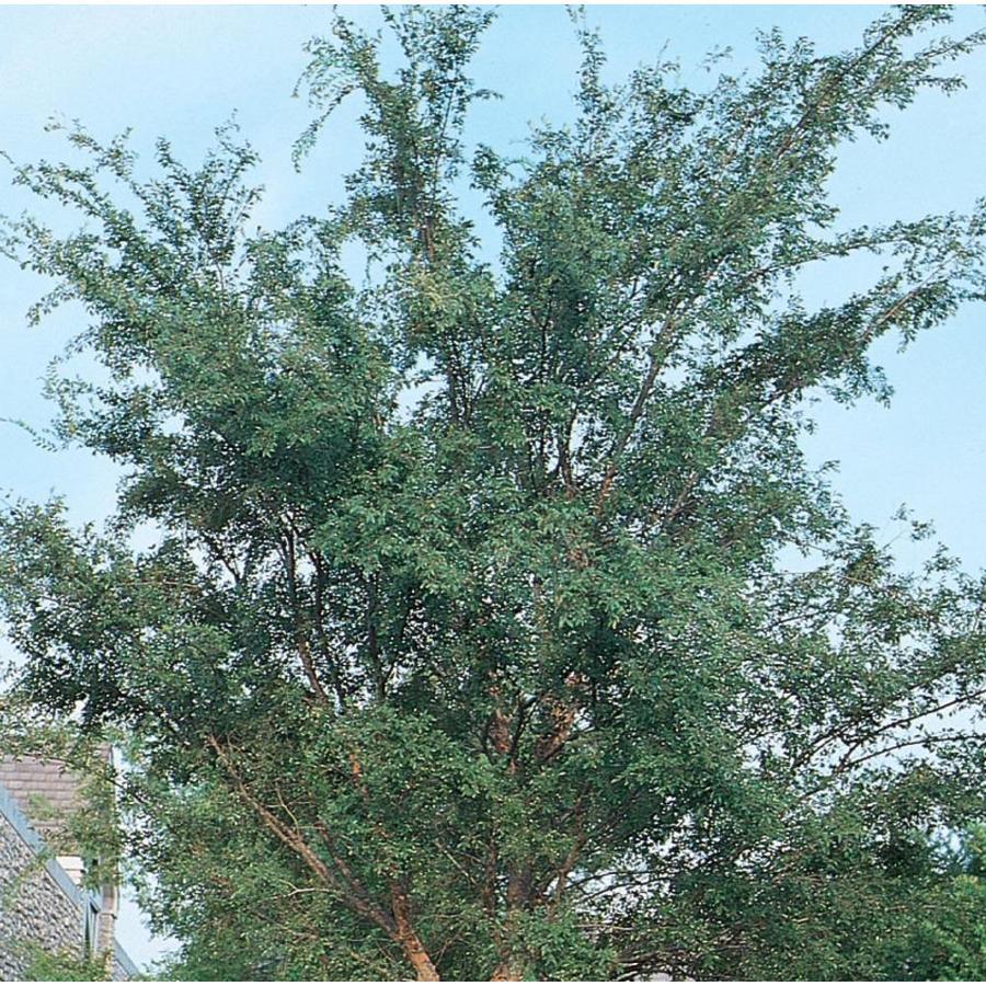 3.58-Gallon Drake Elm Shade Tree (L4612)