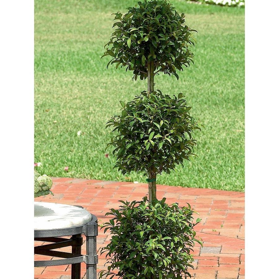 3.58-Gallon Eugenia Topiary (L20938HP)