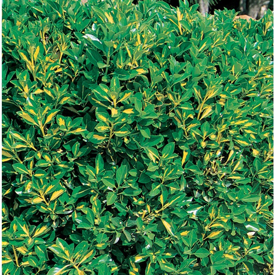 3.58-Gallon Gold Spot Euonymus Accent Shrub (L3488)