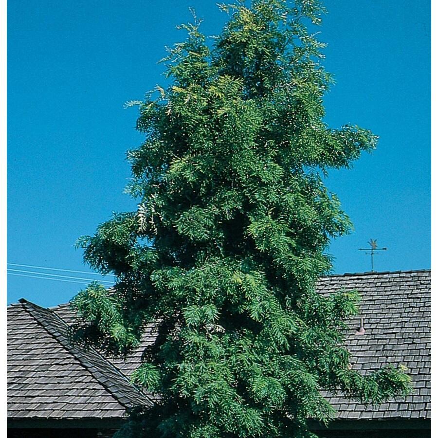 3.58-Gallon Silk Oak Tree Shade Tree (L6315)