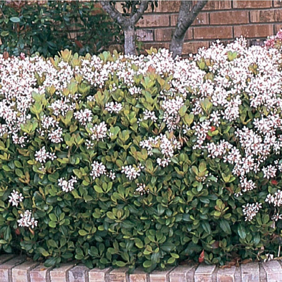 3.58-Gallon Mixed Indian Hawthorn Flowering Shrub (L11166)