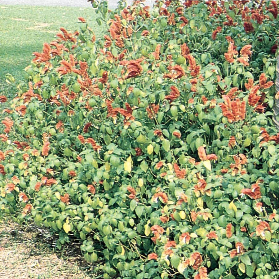3.58-Gallon Red Firespike Justicia Flowering Shrub (L4060)