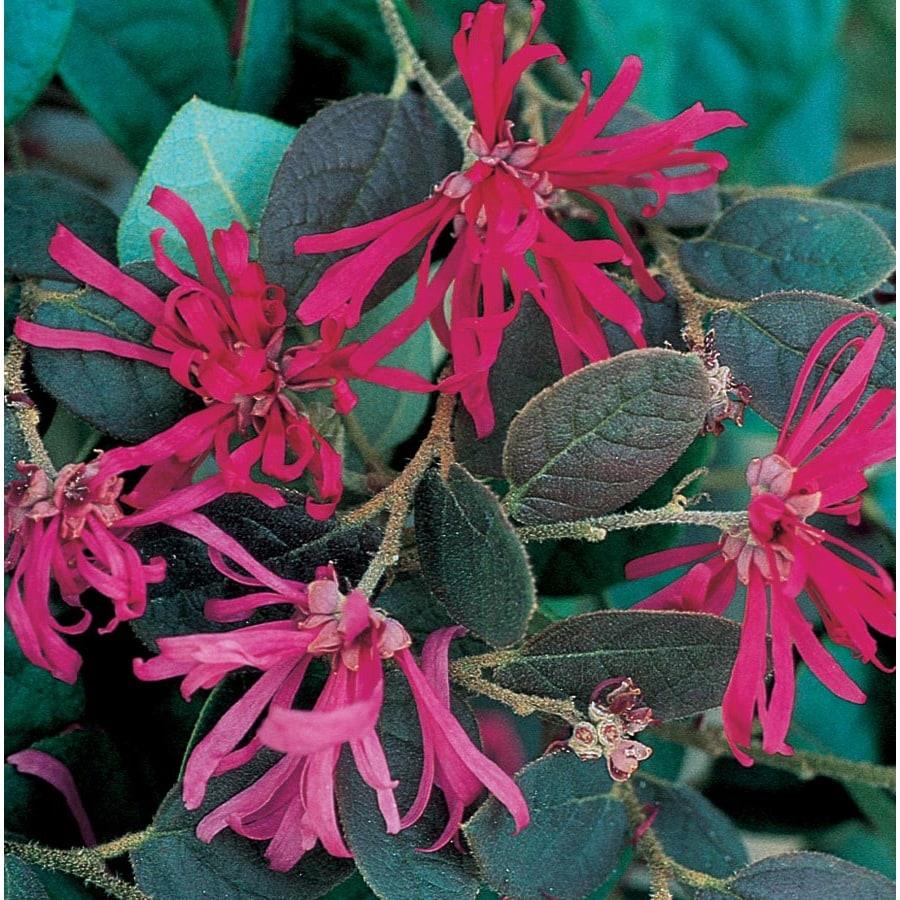 3.58-Gallon Pink Chinese Fringe-Flower Flowering Shrub (L7192)