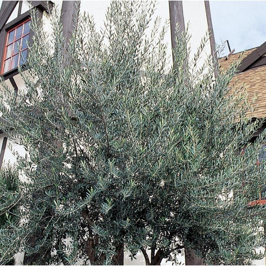 3.58-Gallon European Olive Feature Tree (L14921)