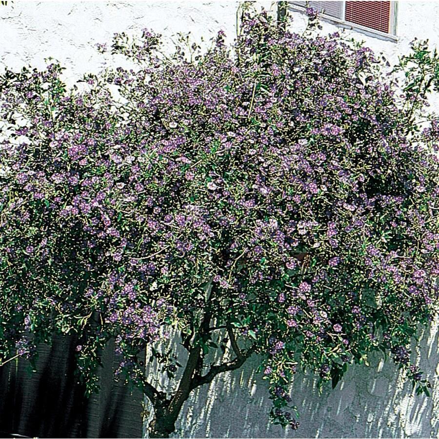 3.58-Gallon Blue Blue Potato Bush Flowering Shrub (L7532)
