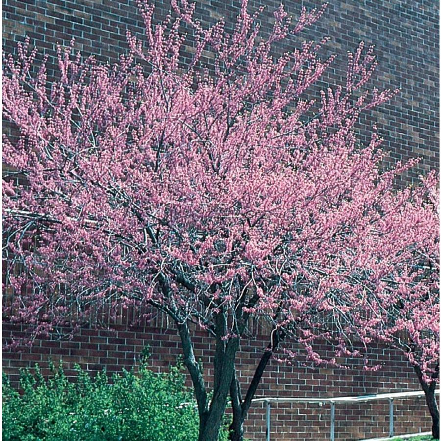 3.58-Gallon Redbud Flowering Tree (L11838)