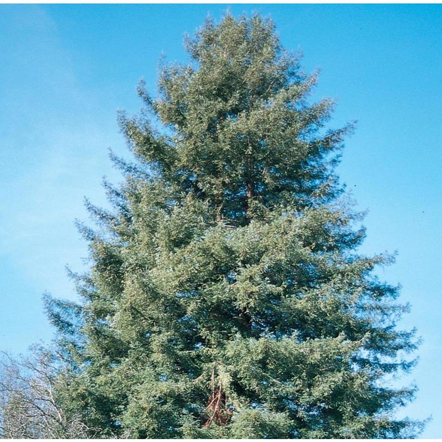 3.58-Gallon Coast Redwood Feature Tree (L23063)