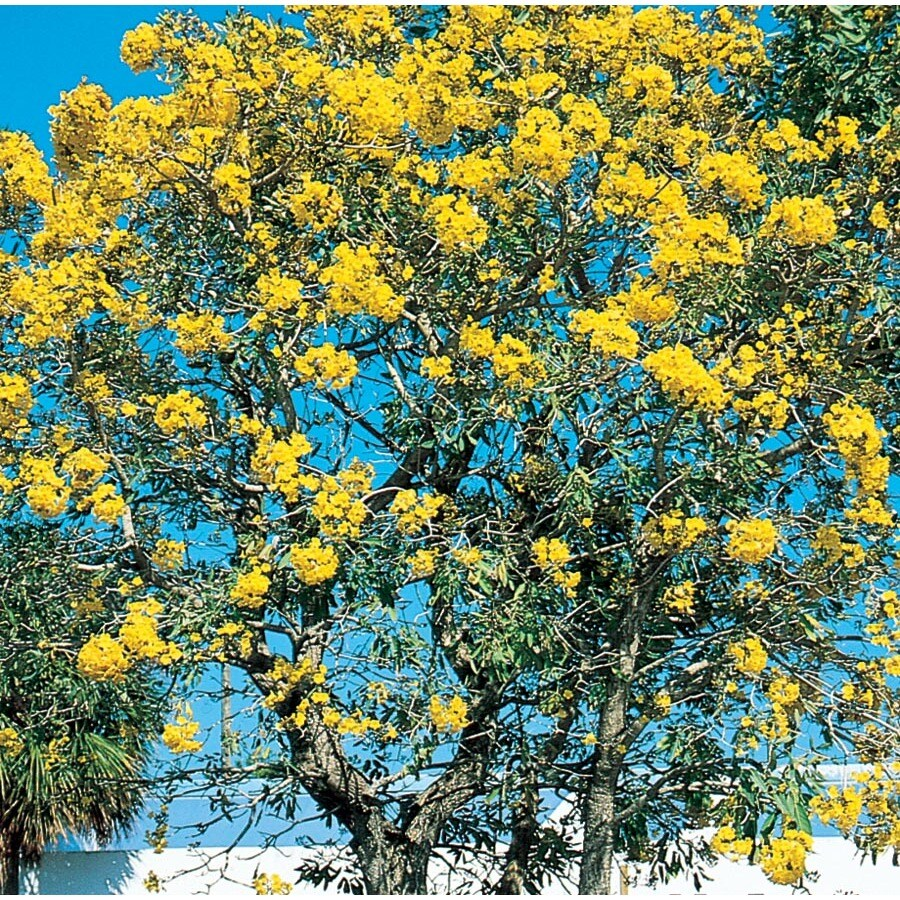 3.58-Gallon Tree Of Gold Flowering Tree (L10453)
