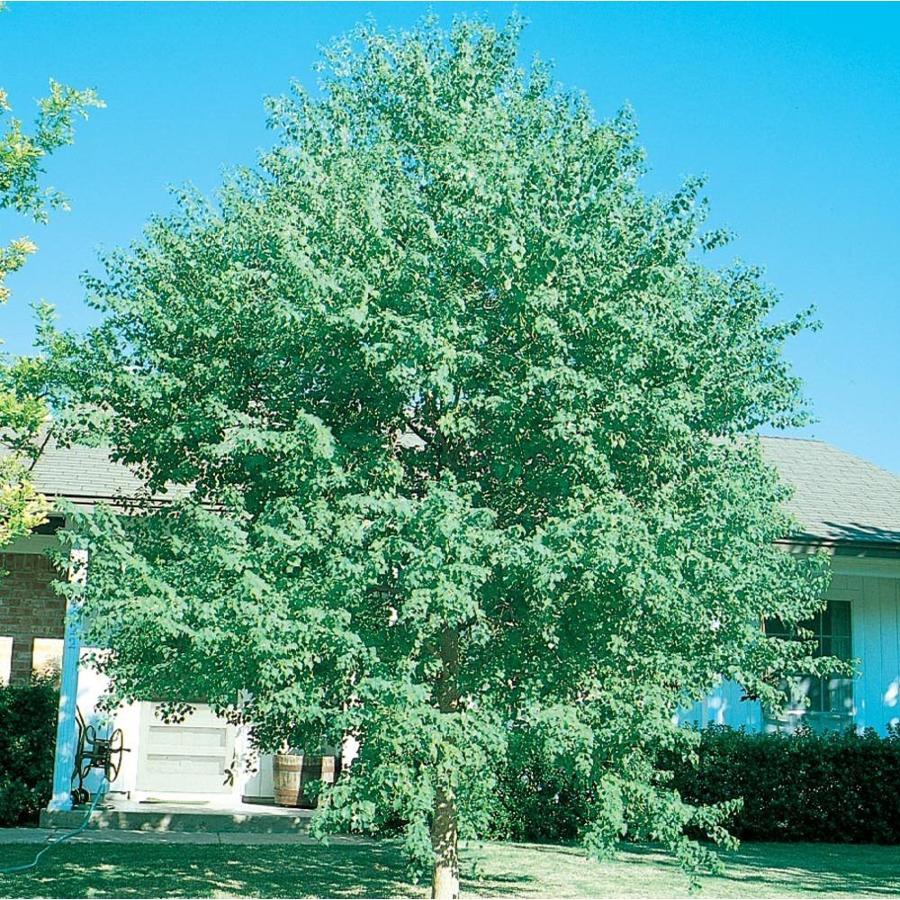 3.58-Gallon Chinese Tallow Tree Shade Tree (L1414)
