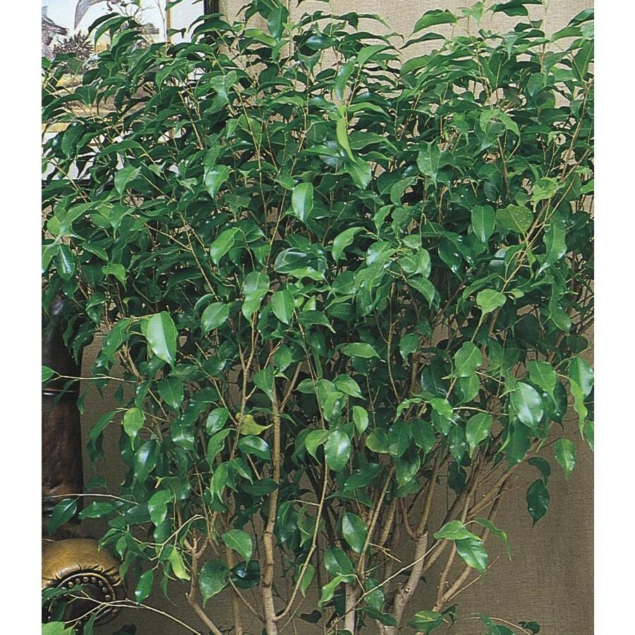 1.5-Gallon Monique Ficus (LW00482HP)