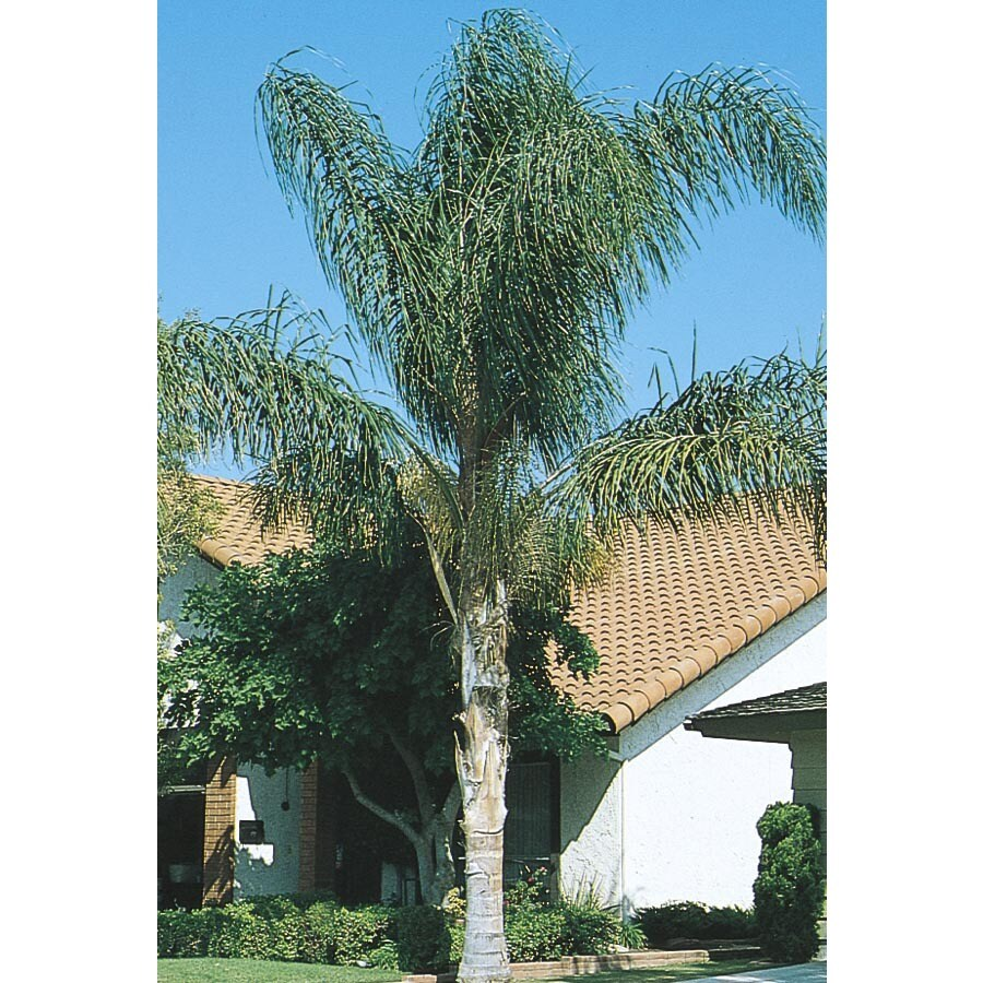 24.2-Gallon Queen Palm (L6258)