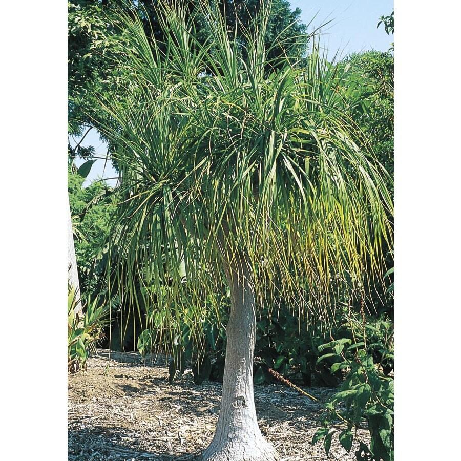 3.61-Gallon White Ponytail Palm Feature Shrub (L9998)