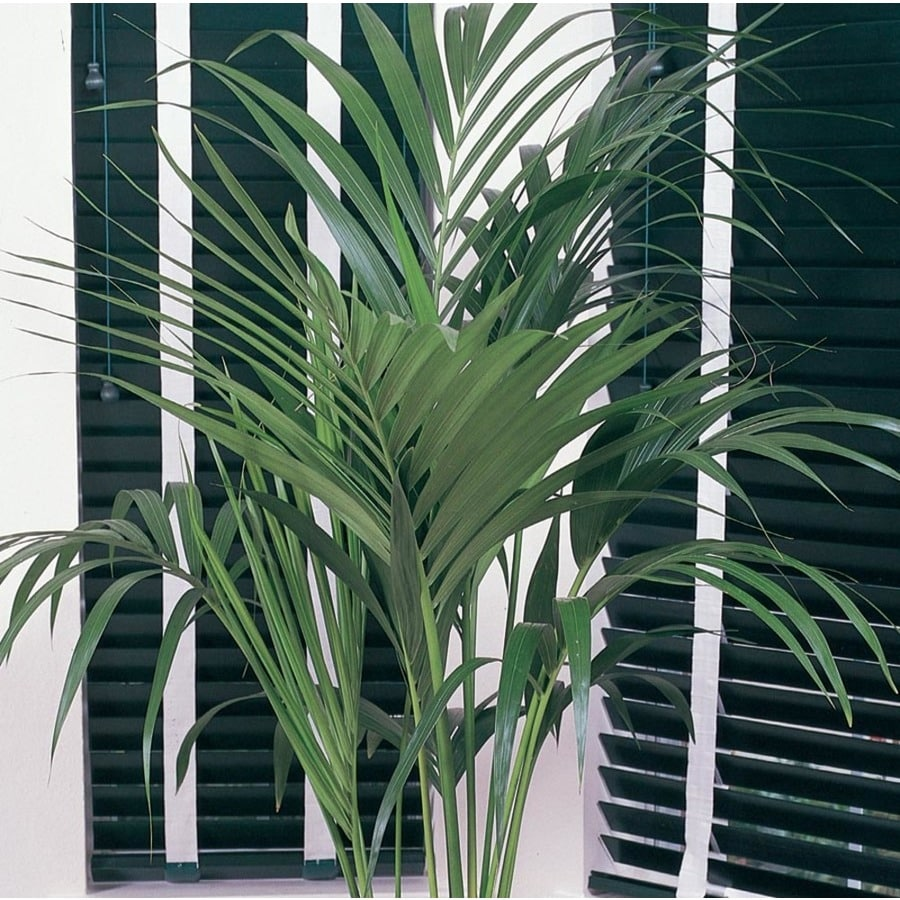 19.09-Gallon Kentia Palm (L9408HP)