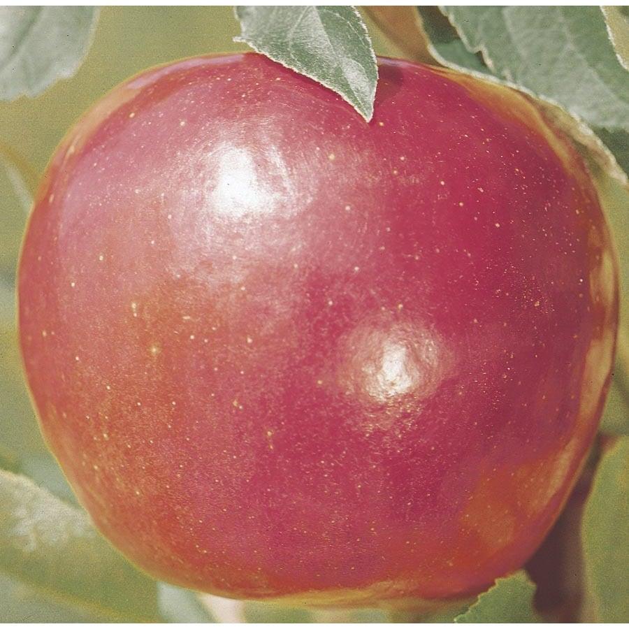 3.74-Gallon Jonathan Apple Tree (L3201)