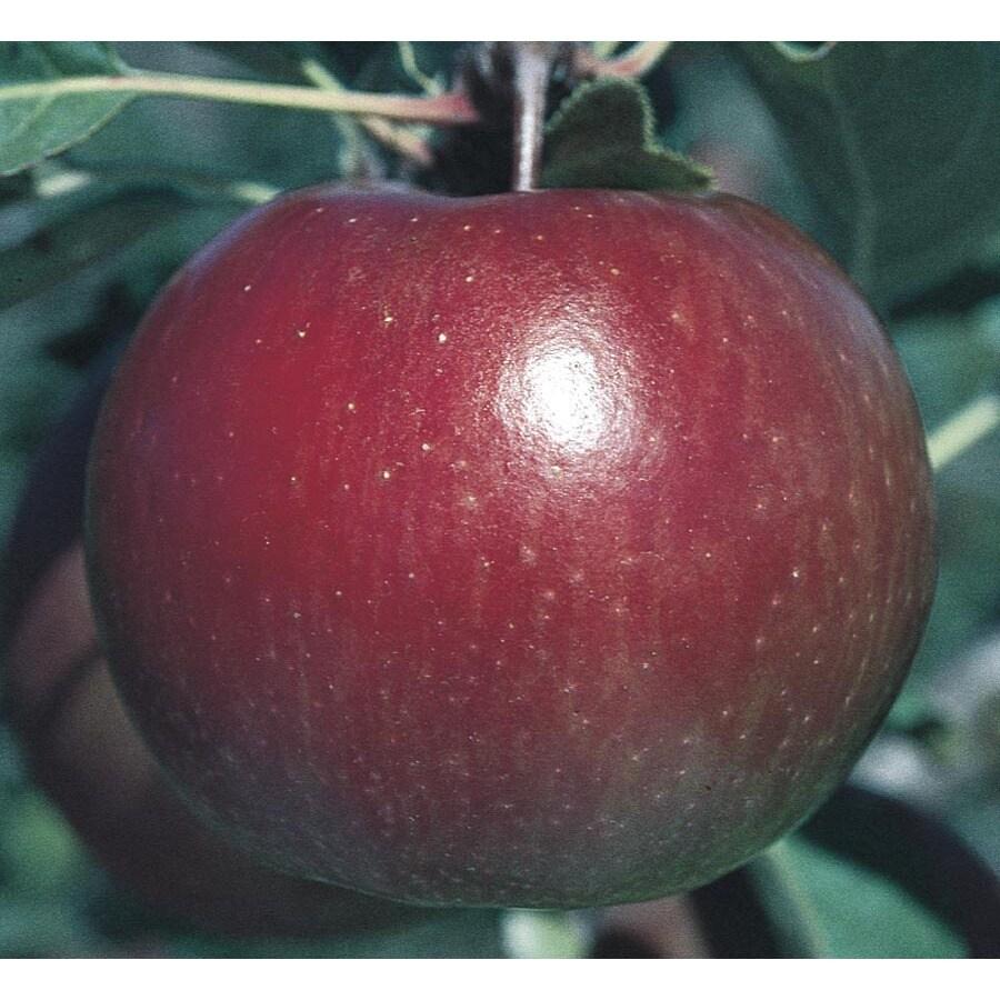 3.74-Gallon Fuji Apple Tree (L10470)
