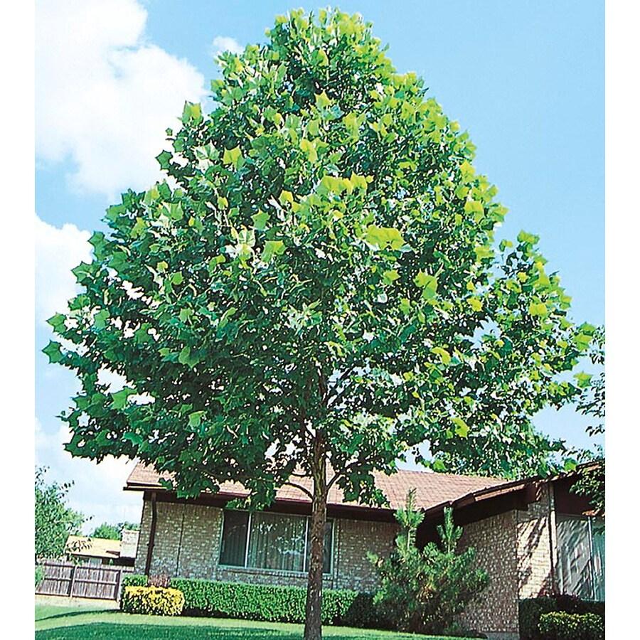 3.25-Gallon London Planetree Shade Tree (L5386)