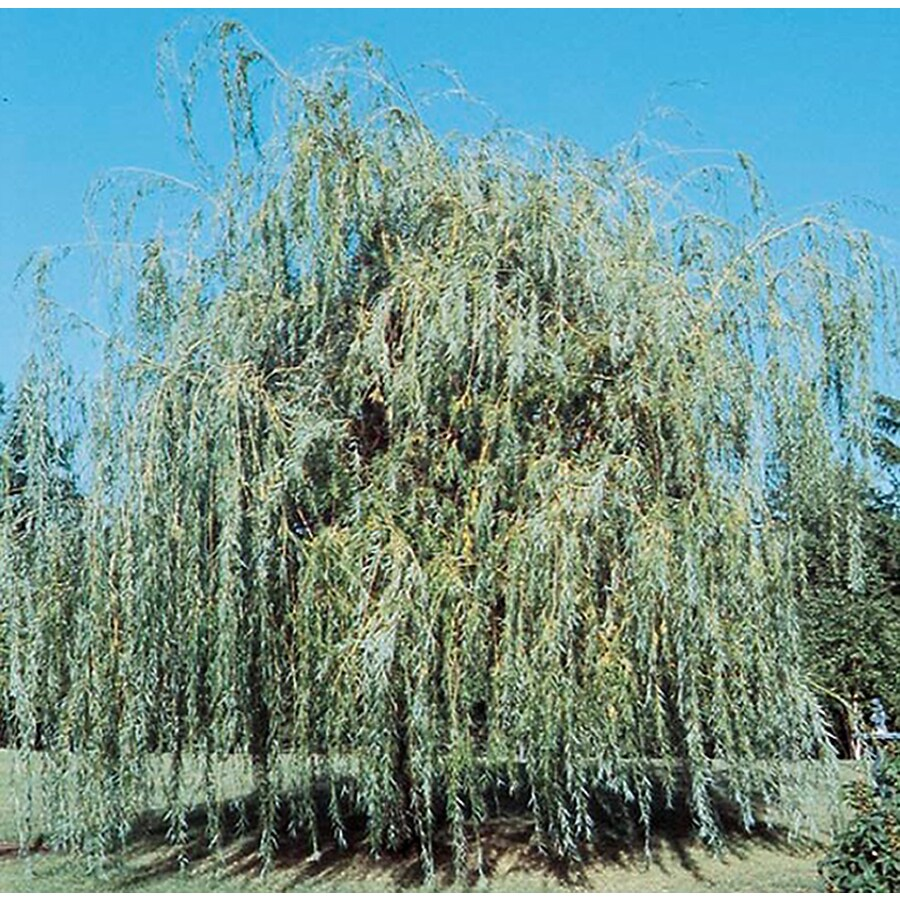 3.25-Gallon Niobe Weeping Willow Shade Tree (L4599)