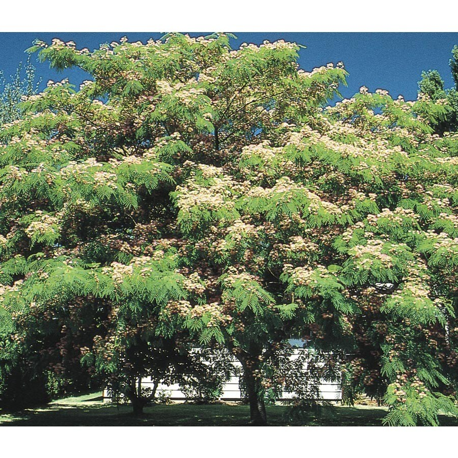 6-Gallon Mimosa Tree Flowering Tree (L1103)