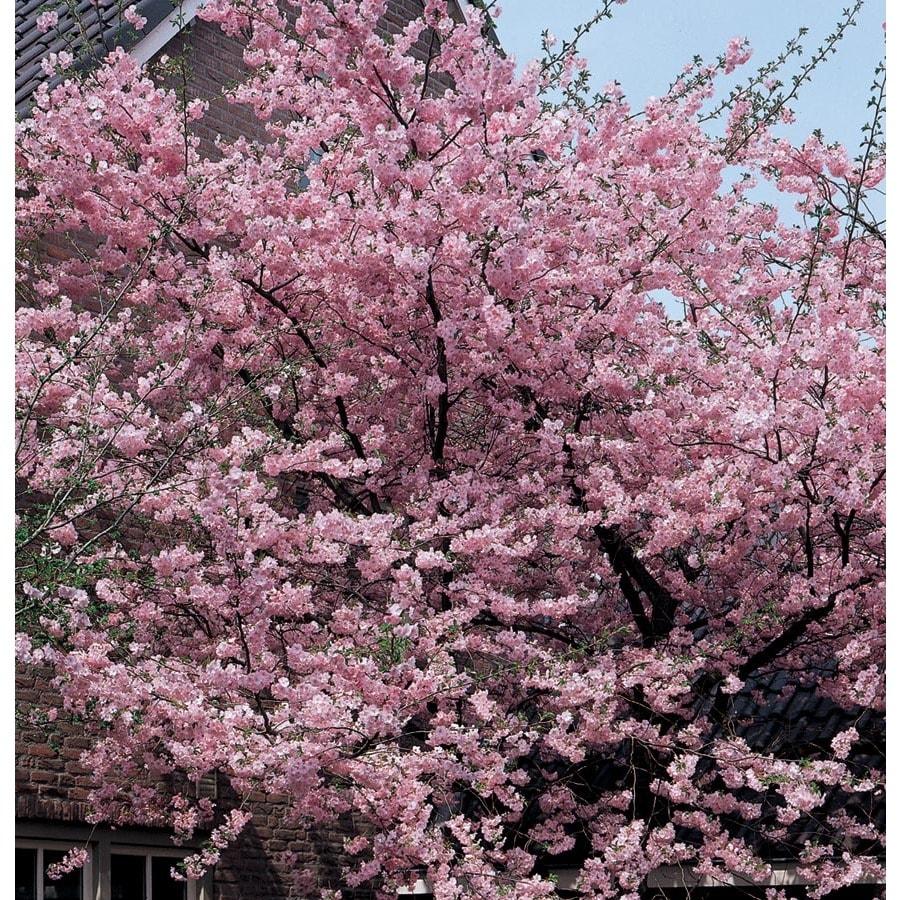 19.5-Gallon Kwanzan Flowering Cherry Flowering Tree (L1023)