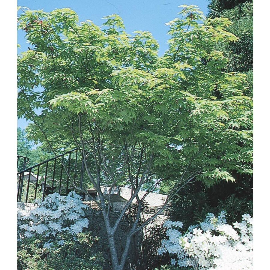 1.6-Gallon Japanese Maple Feature Tree (L4163)