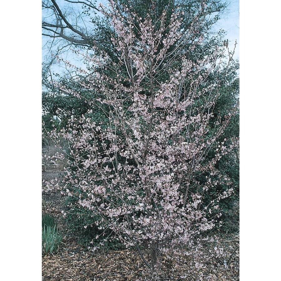 3.74-Gallon Okame Flowering Cherry Flowering Tree (L7100)