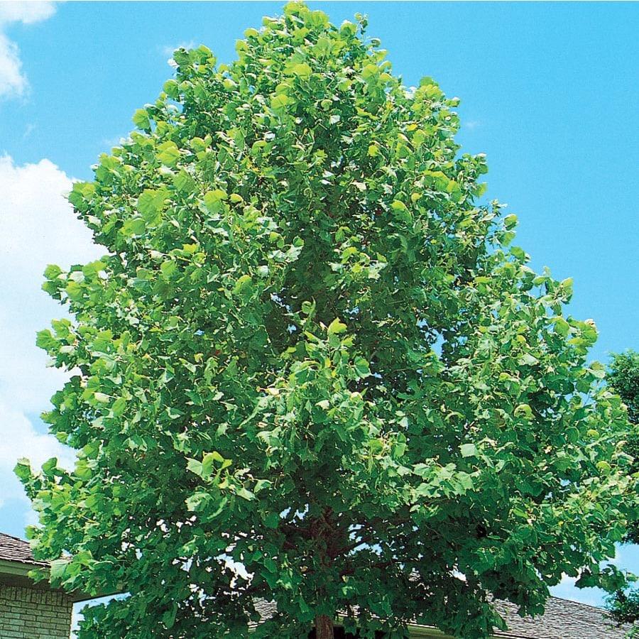 5.5-Gallon Sycamore Tree Shade Tree (L1049)