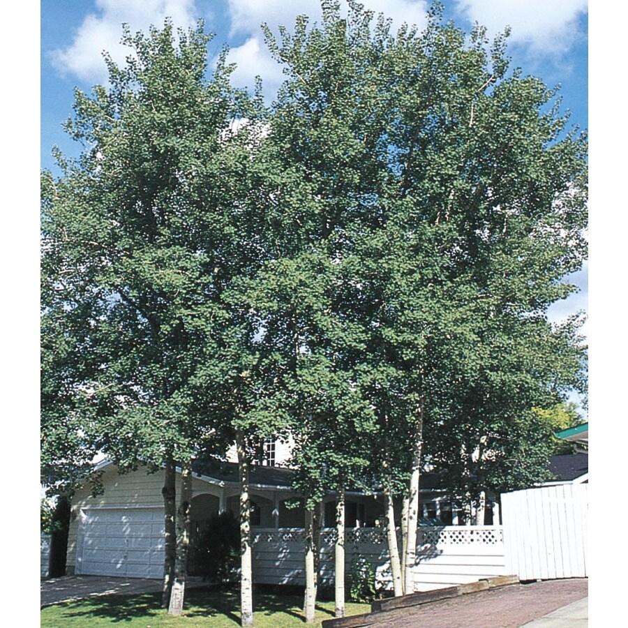 6-Gallon Trembling Aspen Shade Tree (L4358)