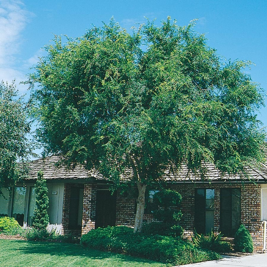 5.5-Gallon Lace Bark/Chinese Elm Shade Tree (L4376)
