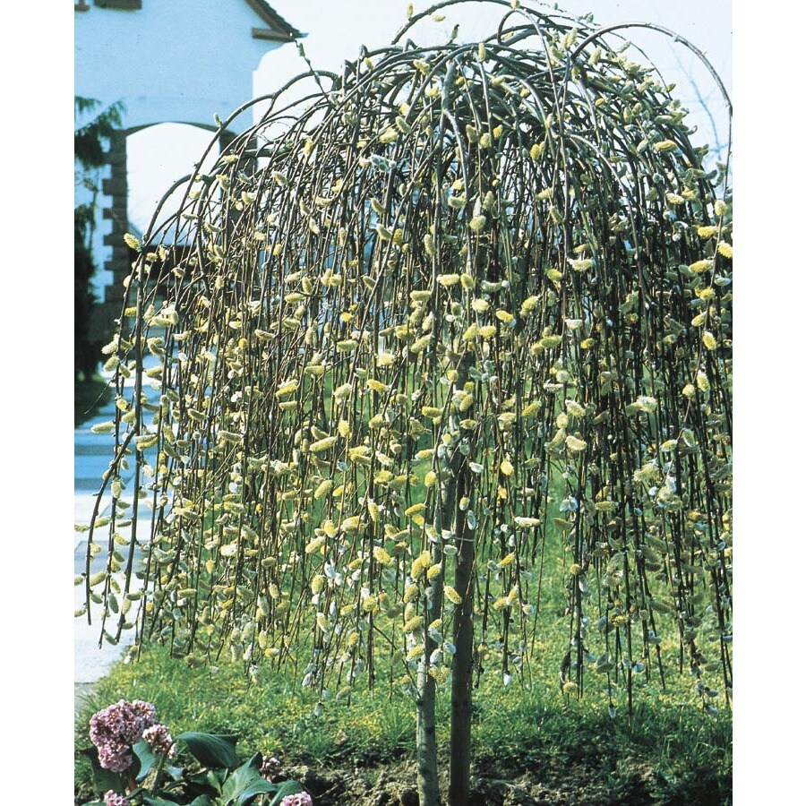 6.08-Gallon Yellow Weeping Pussy Willow Tree Feature Shrub (LW01654)