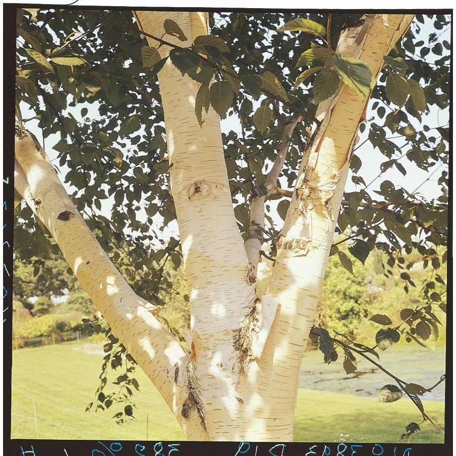 Container Size/Quantity Container/Package Unit Of Measure White-Barked Himalayan Birch Feature Tree (Lw00701)