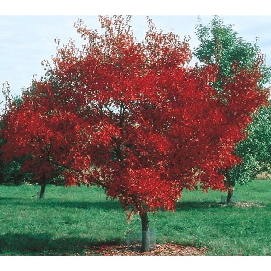 Shop 325 Gallon Amur Maple Shade Tree L7792 At Lowes