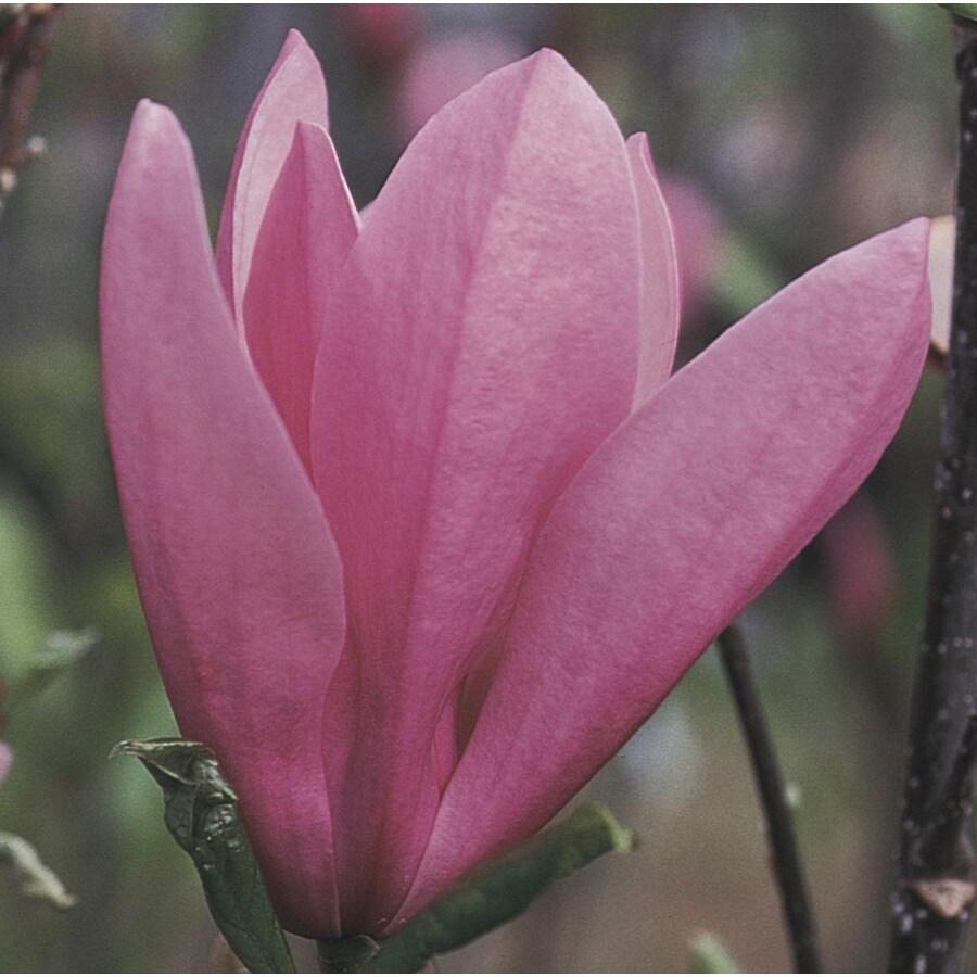 3.74-Gallon Jane Magnolia Flowering Tree (L1160)