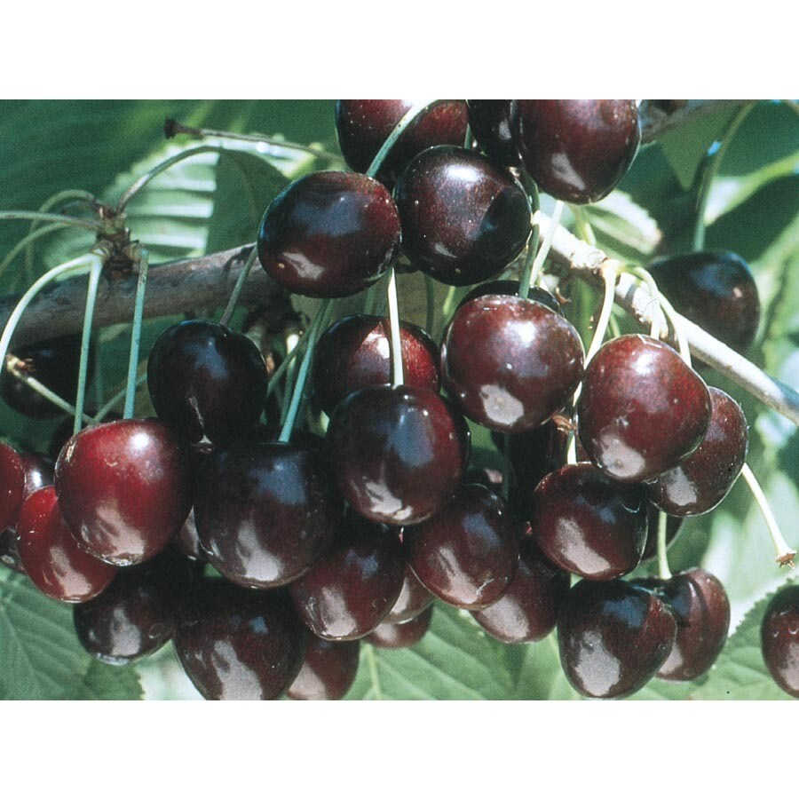 3.25-Gallon Supersweet Cherry Tree (L24796)