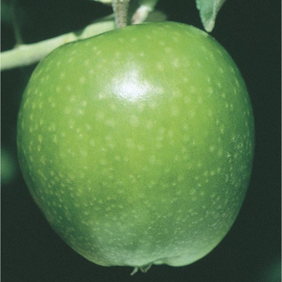 6-Gallon Granny Smith Dwarf Apple Tree (L1064)