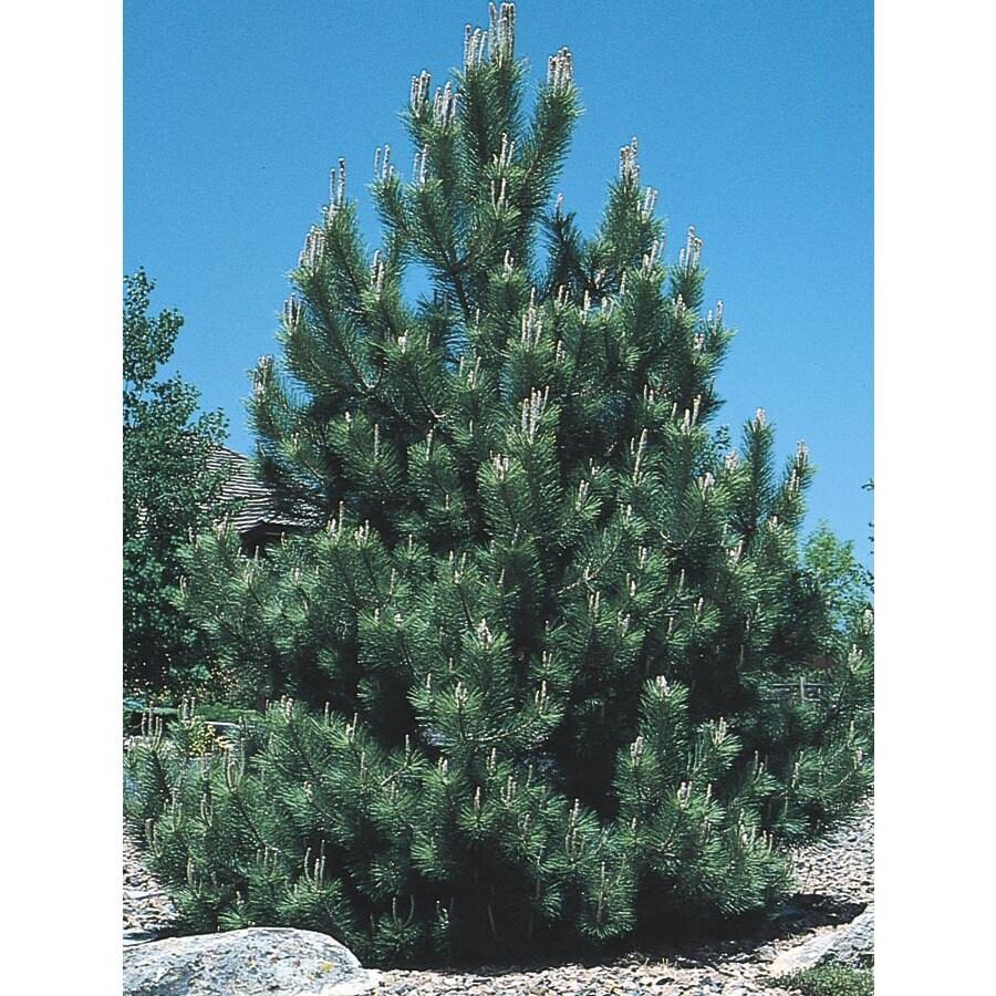 3.63-Gallon Austrian Black Pine Feature Tree (L3618)