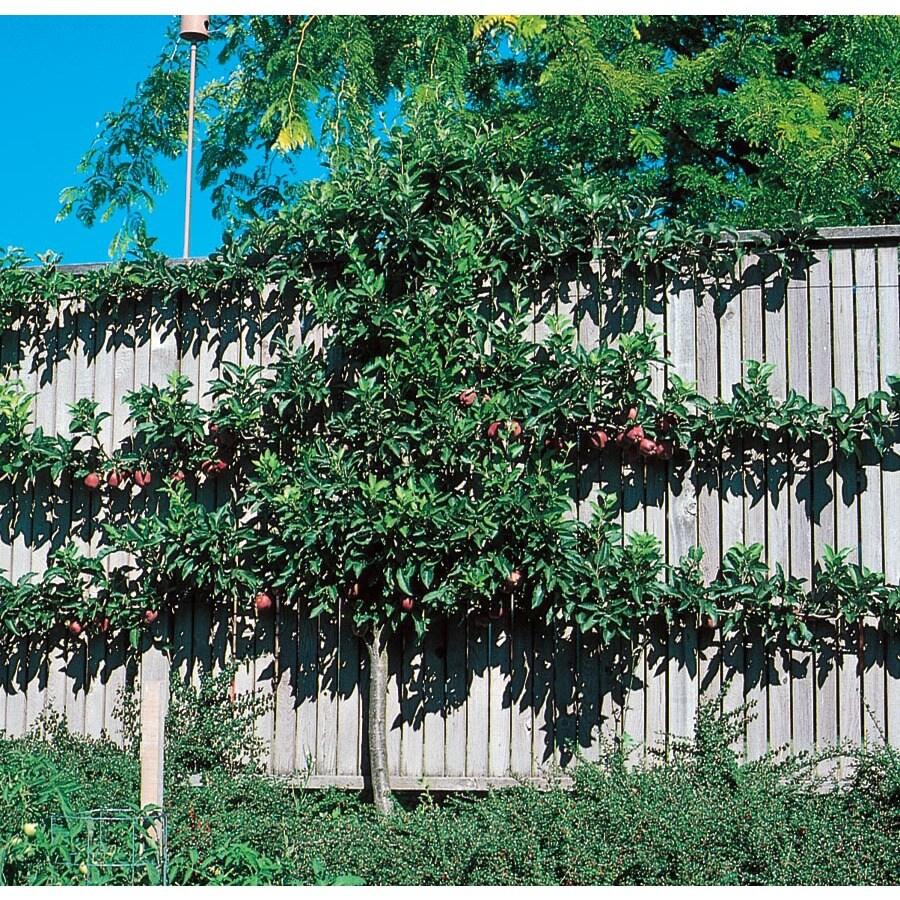 5.5-Gallon Espaliered Apple Tree (L9481)