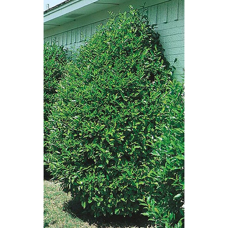 7-Gallon Carolina Cherry Laurel Screening Tree (L11188)