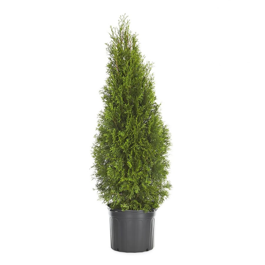 Shop green giant arborvitae screening shrub for Green giant arborvitae
