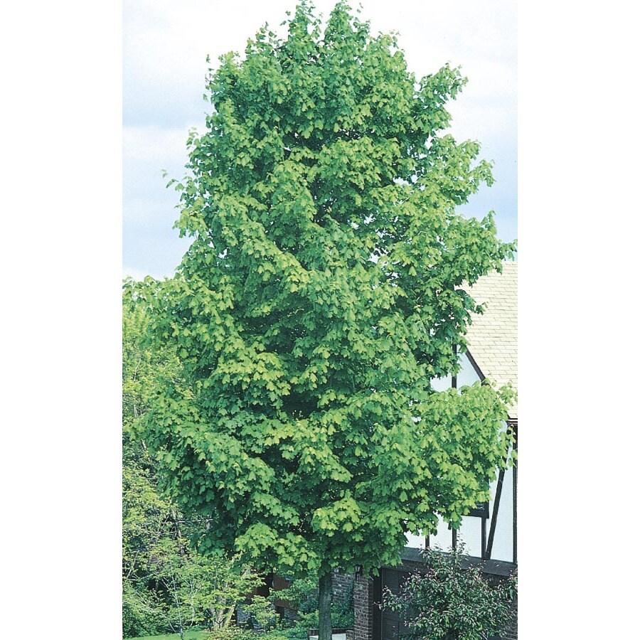 6-Gallon Sugar Maple Shade Tree (L1066)