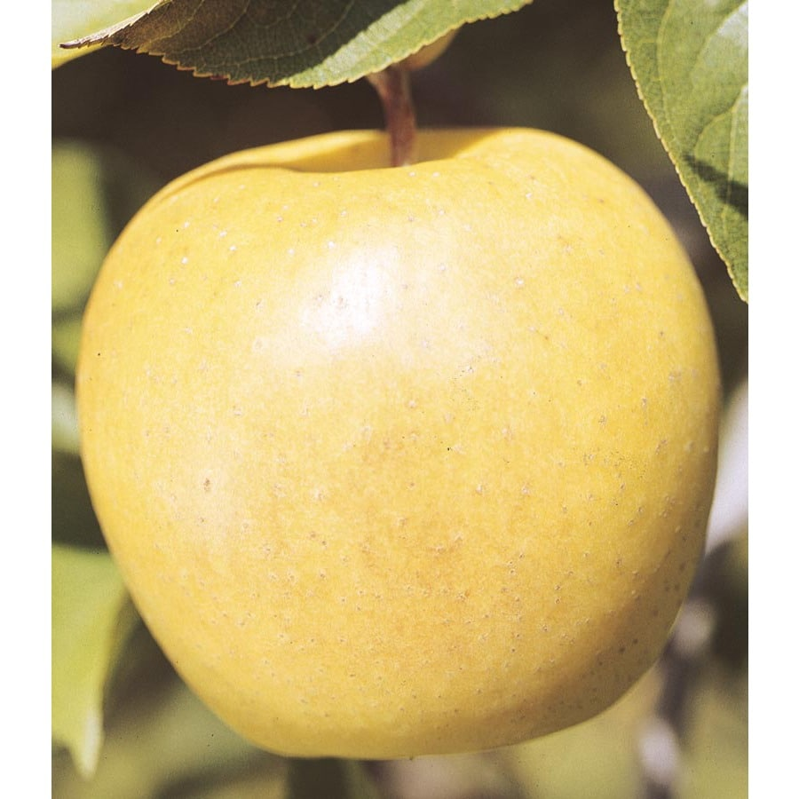 3.58-Gallon Yellow Delicious Semi-Dwarf Apple Tree (L3592)