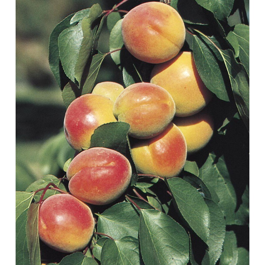 3.58-Gallon Super Sweet Apricot Tree (L24786)