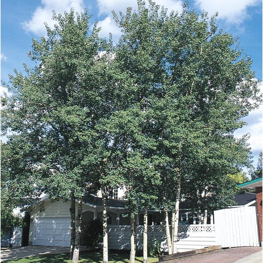 3.63-Gallon Trembling Aspen Shade Tree (L4358)