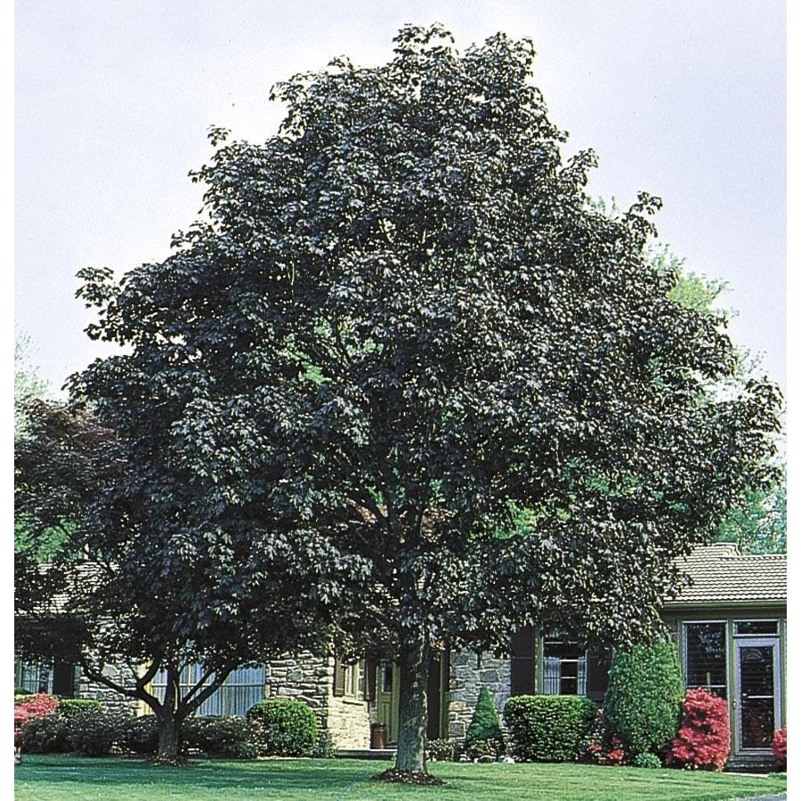 3.63-Gallon Crimson King Norway Maple Shade Tree (L3166)