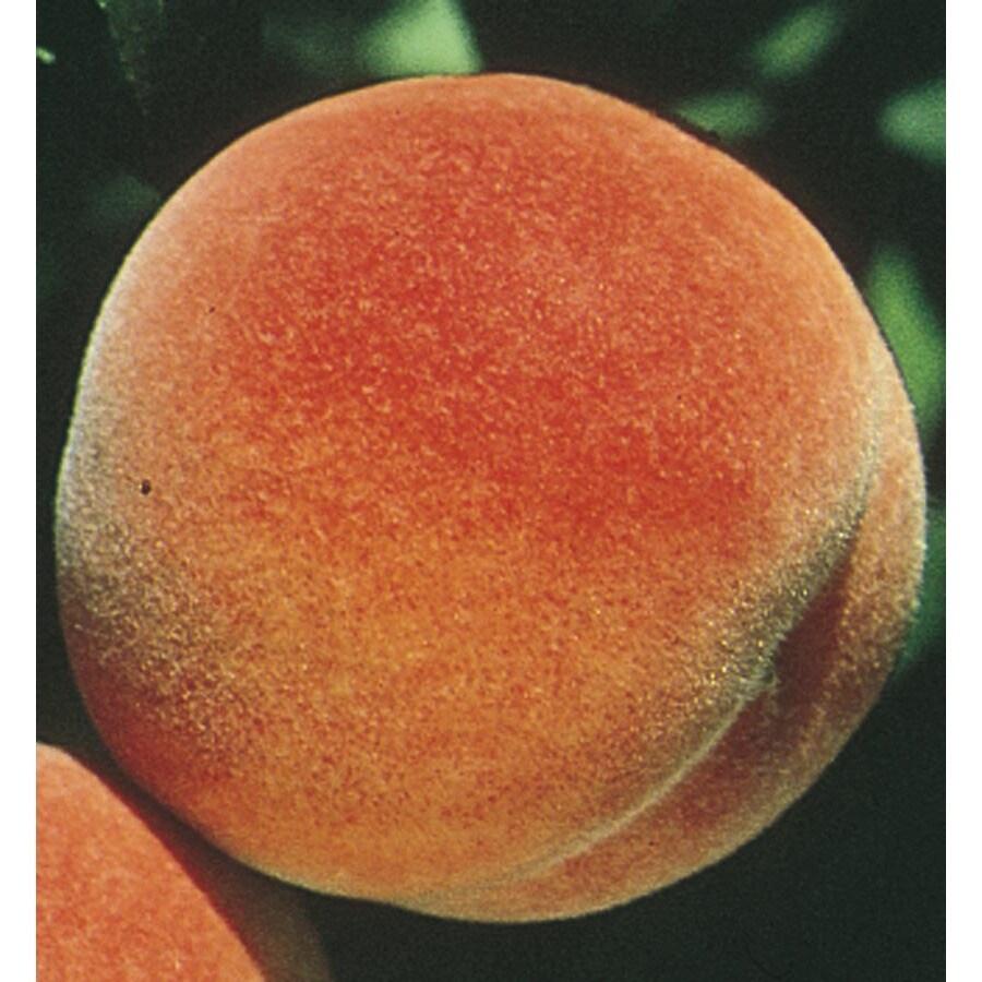 3.58-Gallon Red Haven Semi-Dwarf Peach Tree (L3655)