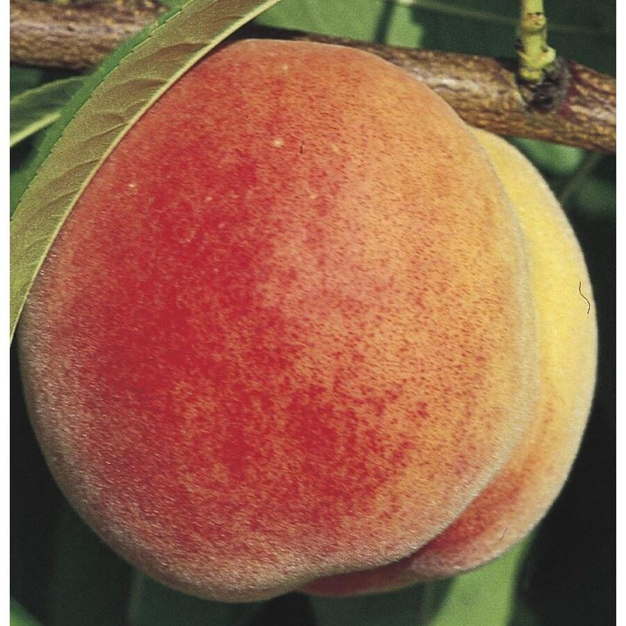3.58-Gallon Super Sweet Peach Tree (LW01532)